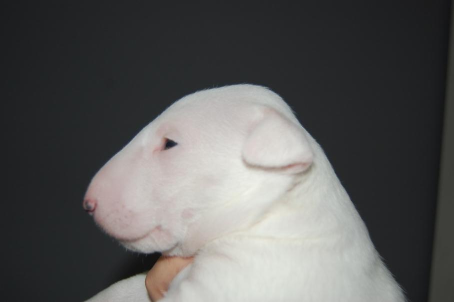 witte teef
